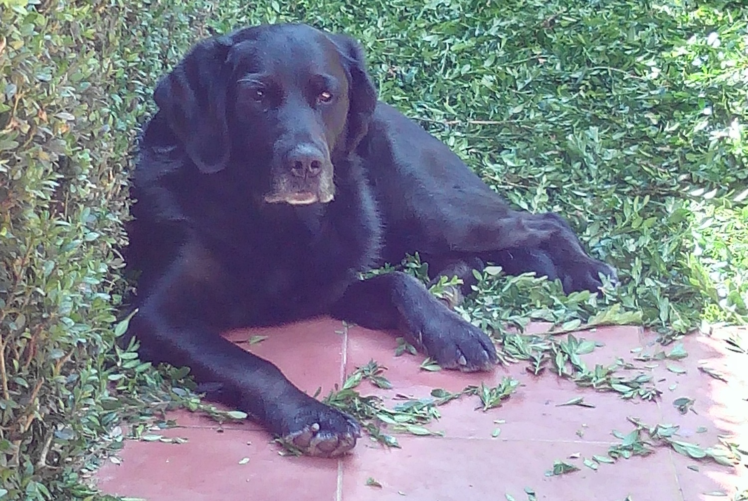 Disappearance alert Dog miscegenation Male , 12 years Cambre Spain