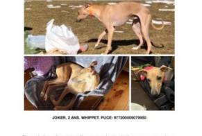 Disappearance alert Dog  Male , 2 years Puigcerdà Spain