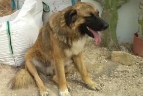 Discovery alert Dog Male , 2 years Bigastro Spain