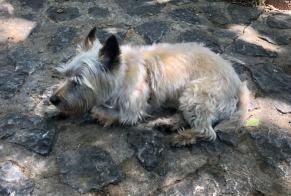 Disappearance alert Dog  Female , 10 years Fornalutx Spain